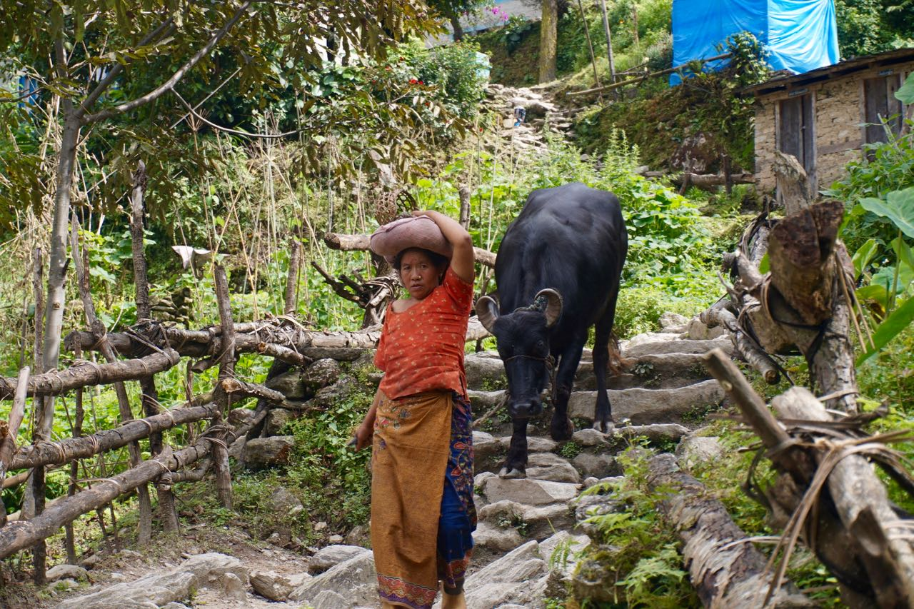 A Nepali Woman Walking her Cow