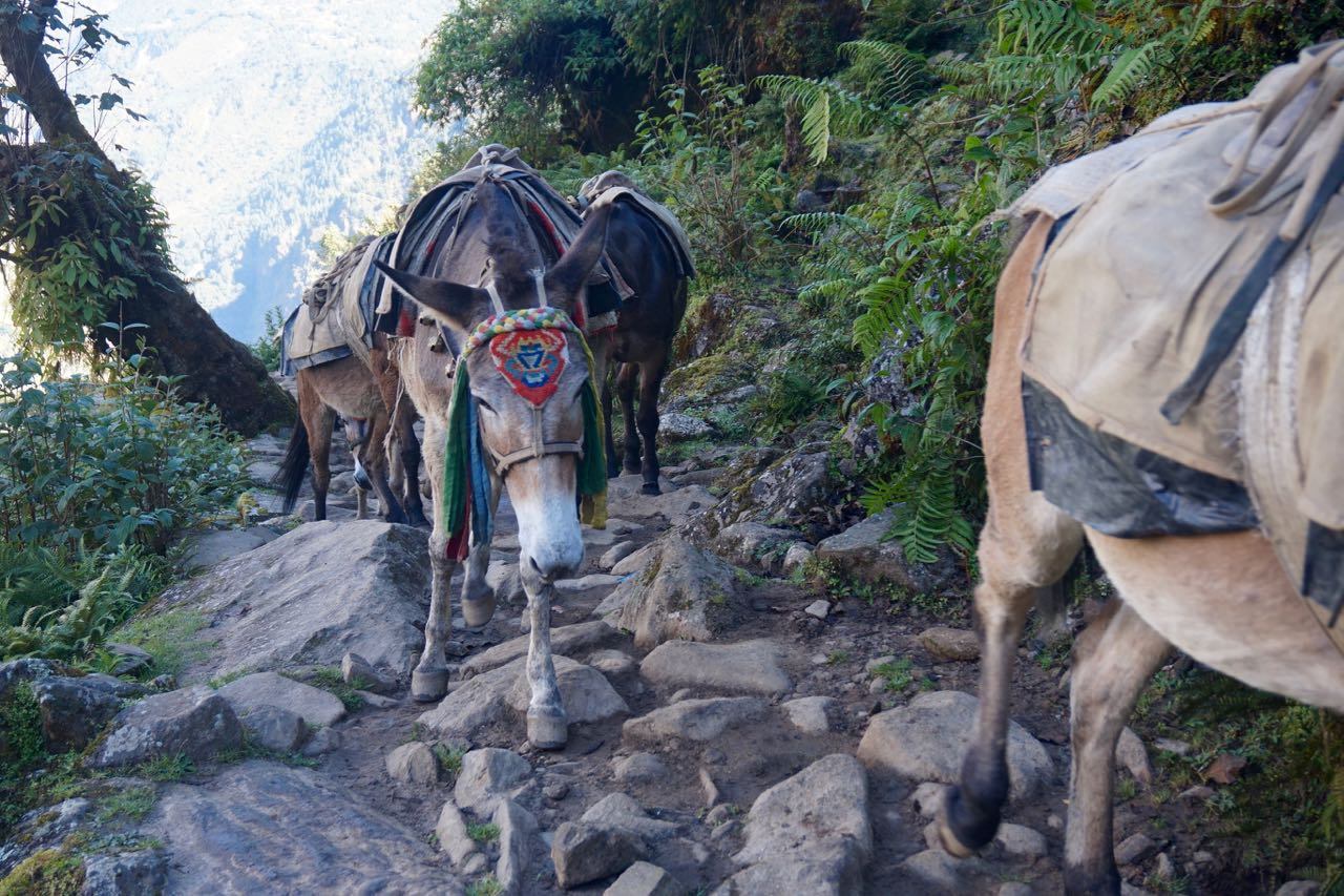 All throughout our journey towards Namche, we came across teams of mules either making their way up or carefully working their way down the paths carrying large loads on their backs containing rice, kerosene, and other goods needed for mountain life. I will never forget the familiar sounds of their bells lightly clanging, announcing their approach as they walked.