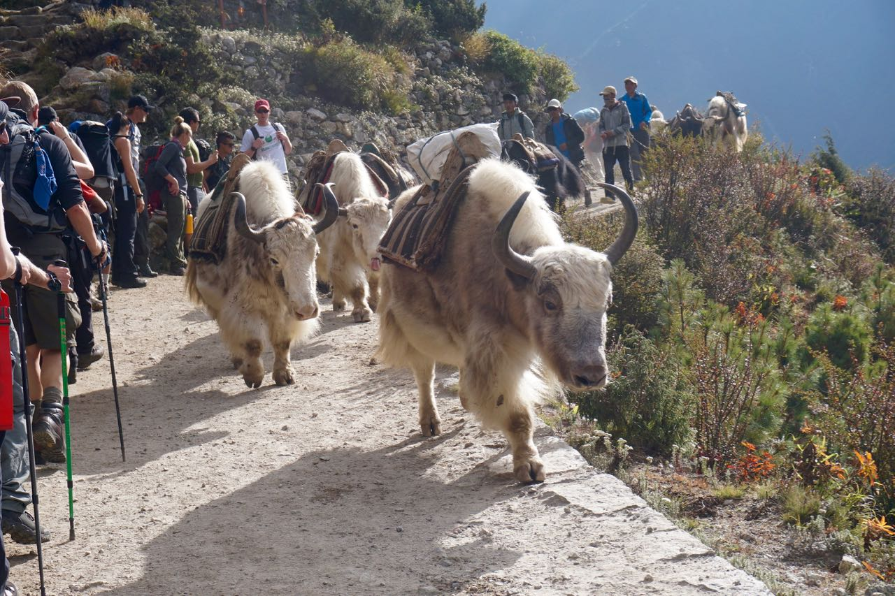 A herd of yaks passing us by. Word of advice: Move out of the way!