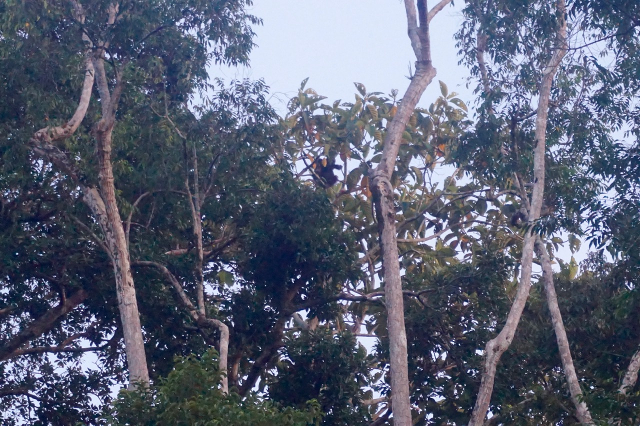 An amazing creature, but a poor picture of our first wild orangutang spotting